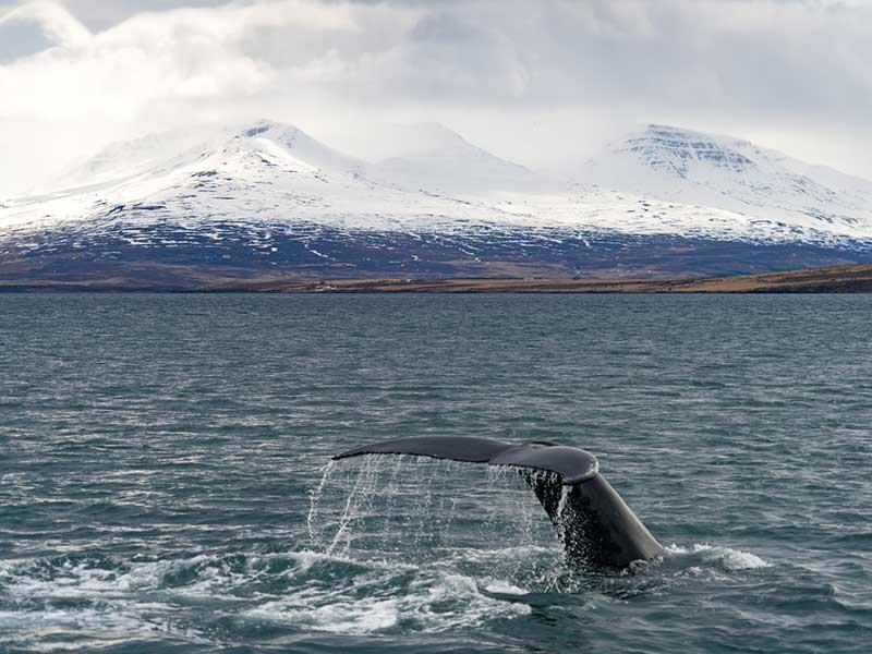 Whale Watching near Akureyri in Iceland